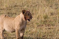 A lion cub walks the plains of the Masai Mara