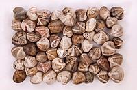 Clam Crustacean - Venerupis Decussata