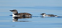 Common Murre adult with young bird at Juan de Fuca Strait, Vcitoria BC, Canada