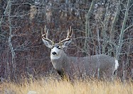 Mule Deer Odocoileus hemionus Male. During the breeding or ´rut´ season deer leave their home range in search of females in estrous. Southwest Alberta...