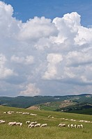 Sheep grazing in countryside near Sienna, Italy