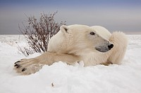 Close_up wide angle view of Polar Bear Ursus maritimus looking behind itself on the coast of Hudson Bay at the Seal River estuary near Churchill, Mani...