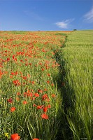 Common Poppy Papaver rhoeas and Corn on the South Downs nr Brighton West Sussex