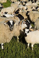 SHEEP ANIMAL Scottish Blackface sheep and lambs flock