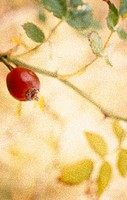 Close_up of a rose hip on a plant