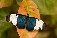 Close_up of a Sapho Longwing butterfly Heliconius sapho