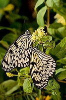 Close_up of a pair of Paper Kite butterfly Idea leuconoe