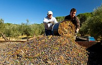 Picking olives in the olive grove. Sierra de Andújar Natural Park. Jaén province. Andalucía. Spain