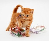 Red tabby kitten with tinsel.