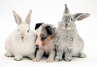 Blue merle Shetland Sheepdog pup with young Lop rabbits.
