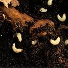 Vine Weevil Otiorhynchus sulcatus larvae in soil around a root.