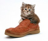 Maine Coon kitten, 7 weeks old, in a shoe.