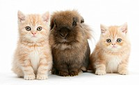 Ginger kittens with Lionhead rabbit.