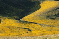 Fairmont Butte with goldfields, Antelope Valley California Poppy State Reserve, CA