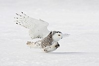 Snowy Owl, Nyctea scandiaca, in winter, Ontario, Canada.