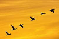 Cormorants flying at sunset, Spain