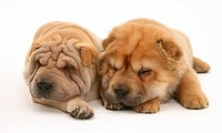 Sleepy Shar_pei pups.