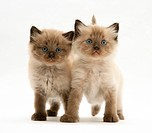 Birman_cross kittens.