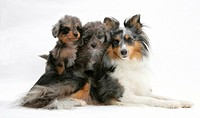 A Shetland sheepdog with a Shetland sheepdog and poodle mix puppies.