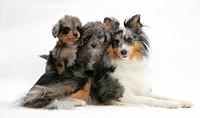 A Shetland sheepdog with a Shetland sheepdog and poodle mix puppies.
