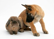 A ten week old Belgian shepherd puppy with a lionhead rabbit.