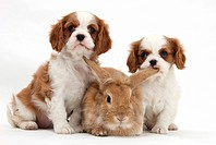 Blenheim Cavalier King Charles spaniel puppies with a lionhead rabbit.