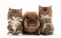 Seven week old Maine coon kittens with a lionhead rabbit.