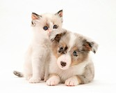 Birman_cross kitten and blue merle Shetland Sheepdog pup.