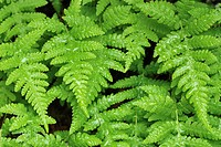 close_up of thelypteris phegopteris fern on russian kola peninsula