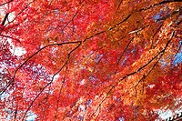 Maple tree branches in Autumn