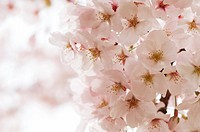 Close_up of cherry blossom branch