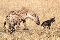 A spotted hyena and her cub on the plains of the Masai Mara false penis showing