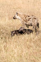 A spotted hyena and her two cubs on the plains of the Masai Mara false penis slightly showing