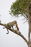 Young male adult leopard takes his kill out of the tree in the Masai Mara