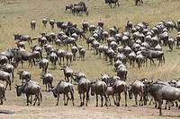 A wildebeest herd on the other side after crossing the Talek River during the Great Migration in Kenya