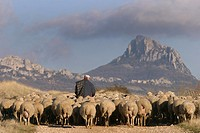 shepher with sheep along the country road in Meano, Navarra, Spain, Europe