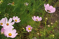 Pink Cosmos wild flowers at the roadside in Kwazulu Natal, South Africa  Family, Asteraceae  Genus, Cosmos  Species, bipinnatus