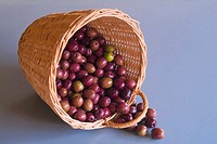 Ripening olives in basket