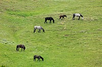 Feral Horse Wild Horse Equus caballus  Family group foraging on hillside
