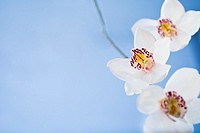 White orchids flower on blue background