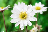 Anemone blanda 'White Splendour' AGM Windflower