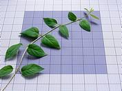 Ascending vine on graph paper