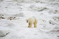 Polar bear Ursus maritimus walking on newly forming Hudson Bay ice