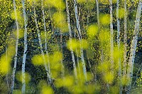 Spring trees as seen through out of focus leaves