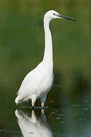 Little egret Egretta garzetta, at lagoon, Valencia, Spain