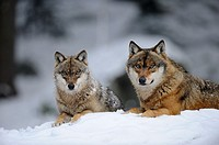 European grey wolf in snow Canis lupus, captive  Bayerischerwald National Park, Germany