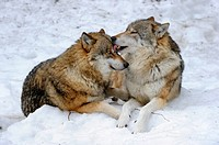 European grey wolves licking Canis lupus, captive  Bayerischerwald National Park, Germany