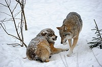 European grey wolf snarling at adversary wolf Canis lupus, captive  Bayerischerwald National Park, Germany