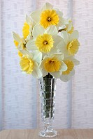 Narcissus 'Ice Follies' Daffodil Div 2 Large-cupped Arranged in vase on table