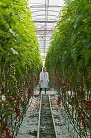 female worker in lab coat standing between rows of 10 foot high organic tomato plants in greenhouse